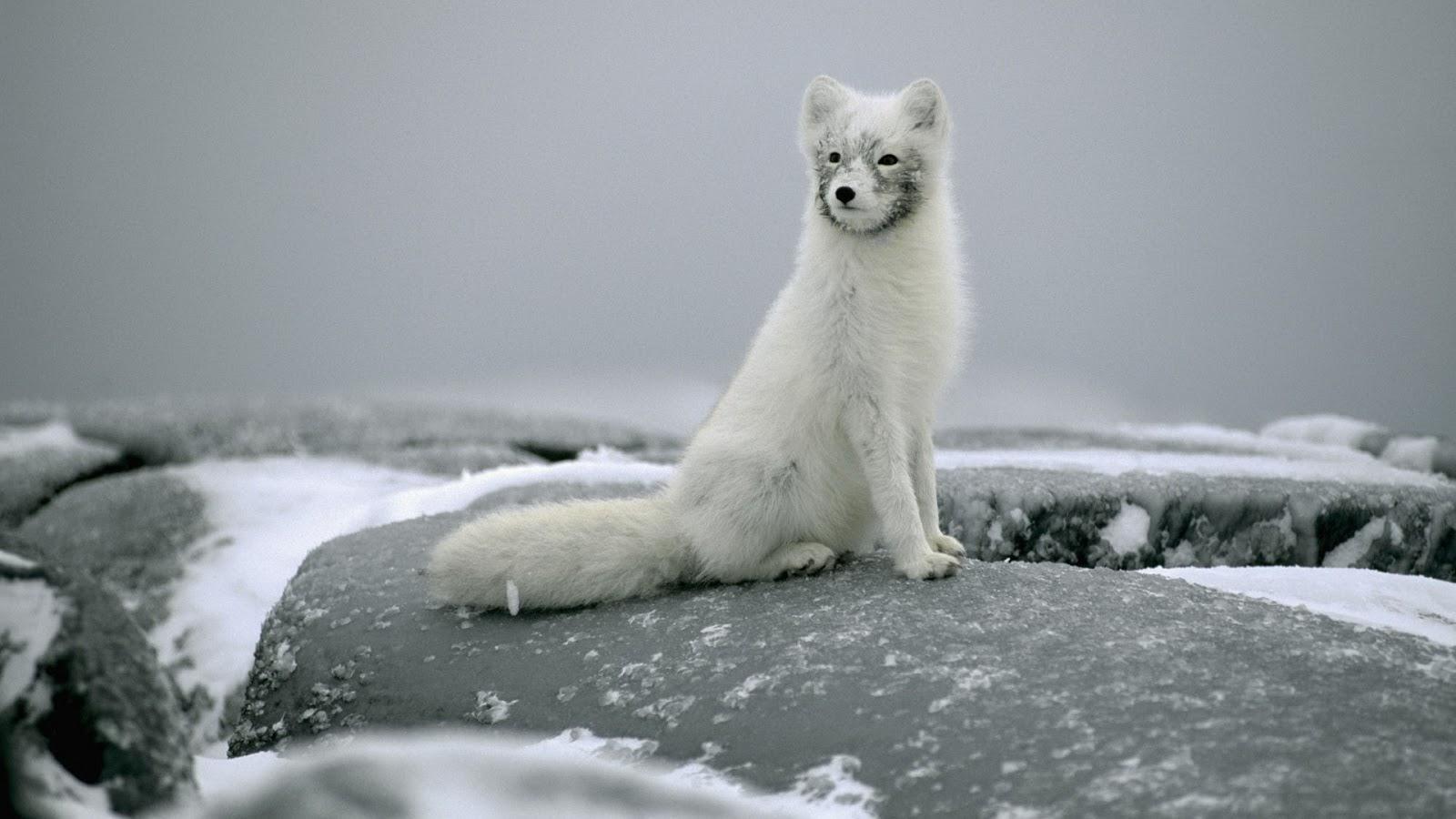 Polar Fox on Stones