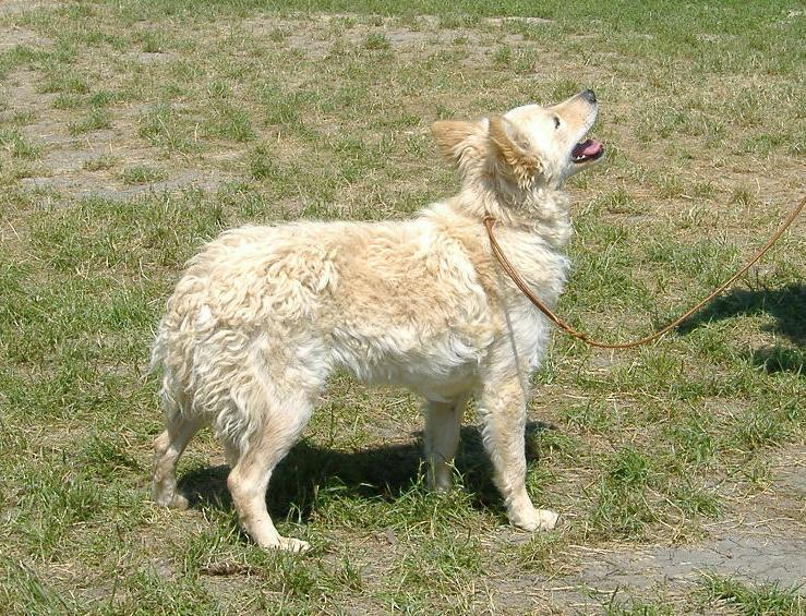 Mudis Dog Breed