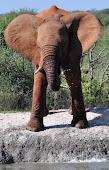 Drickande elefant