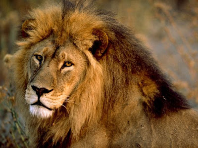 Male African Lion Picture