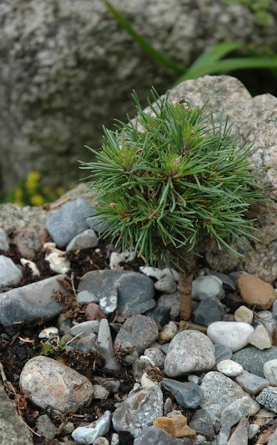 Havetid: små træer i krukker.