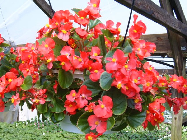 Introduction to growing begonias beautifull flower - Flores de sombra ...
