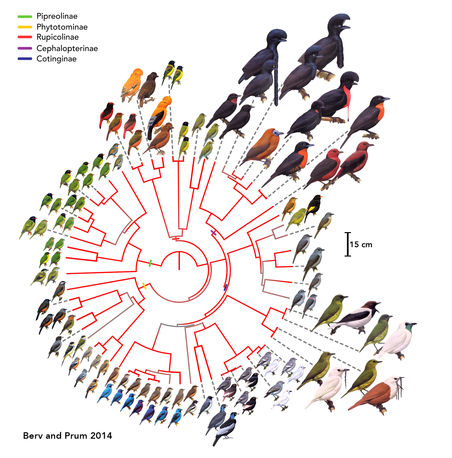 evolutionary analysis of culex species Based on phylogenetic analysis, we found that intron z should present in the common ancestor of arthropod species, more than 420 ma in addition, we found that sophophora subgenus species and mosquito ( culex pipiens ) lost intron z independently, showing evolutionary convergence.
