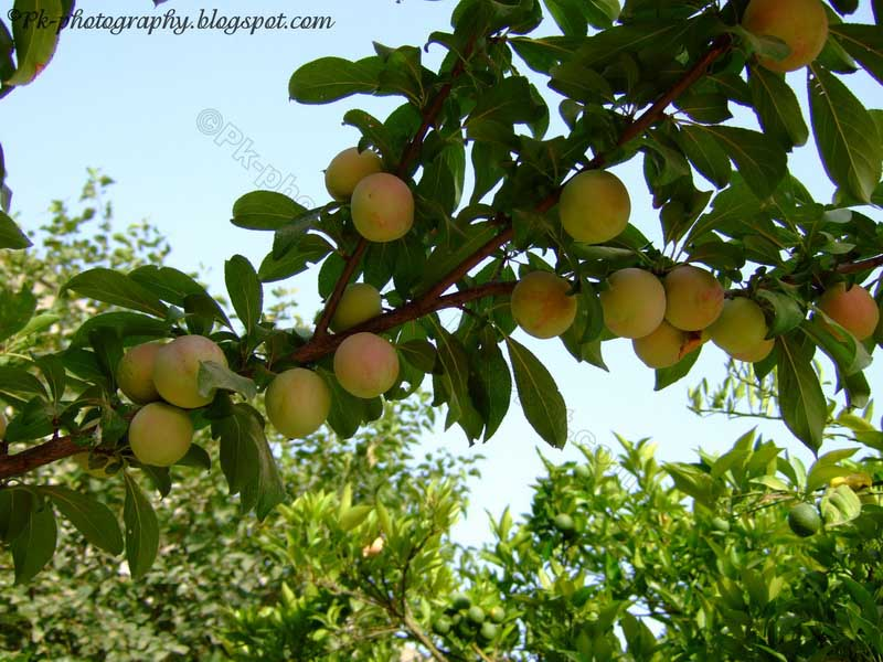 Plum tree pictures nature cultural and travel photography blog - Fruit trees every type weather area ...