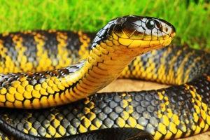 Otto serpenti pi velenosi del mondo for Nomi di rettili