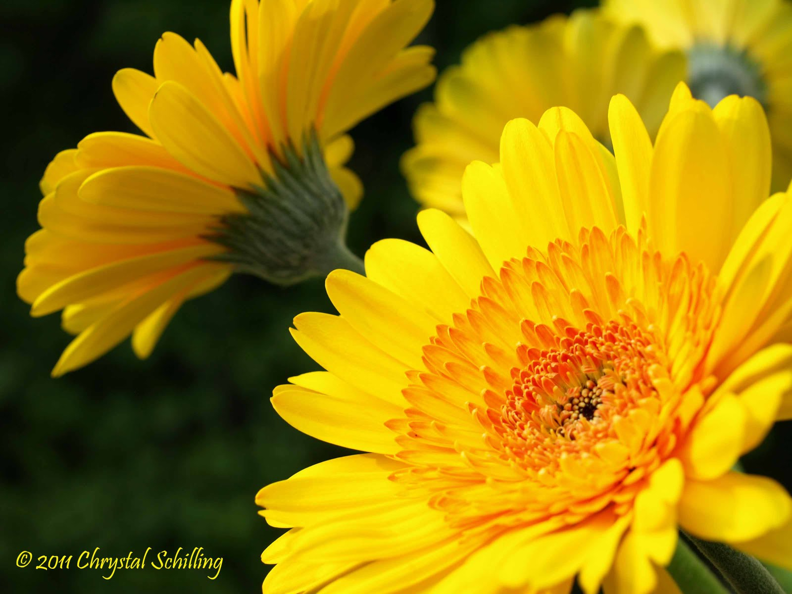 Chrystal Schilling Photography Photo 89 365 Birthday Flowers Close Up