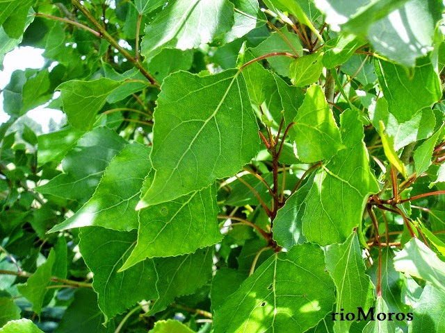Hojas de CHOPO: Populus nigra