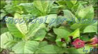 A planta que deu origem ao fumo ou tabaco e ao cigarro.