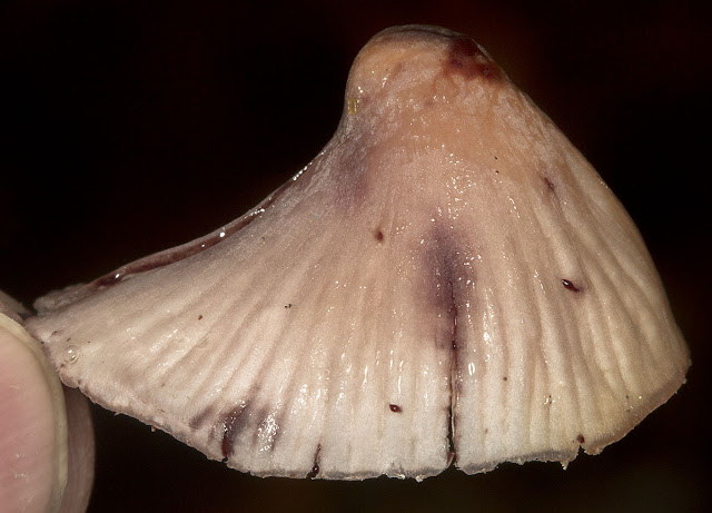 Mycena haematopus.  Keston Common, 11 November 2012.