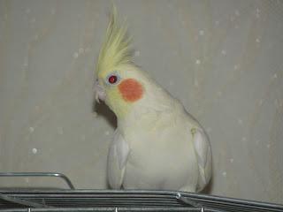 попугай, голуби, волнистый попугай, карела, забавный попугайчик