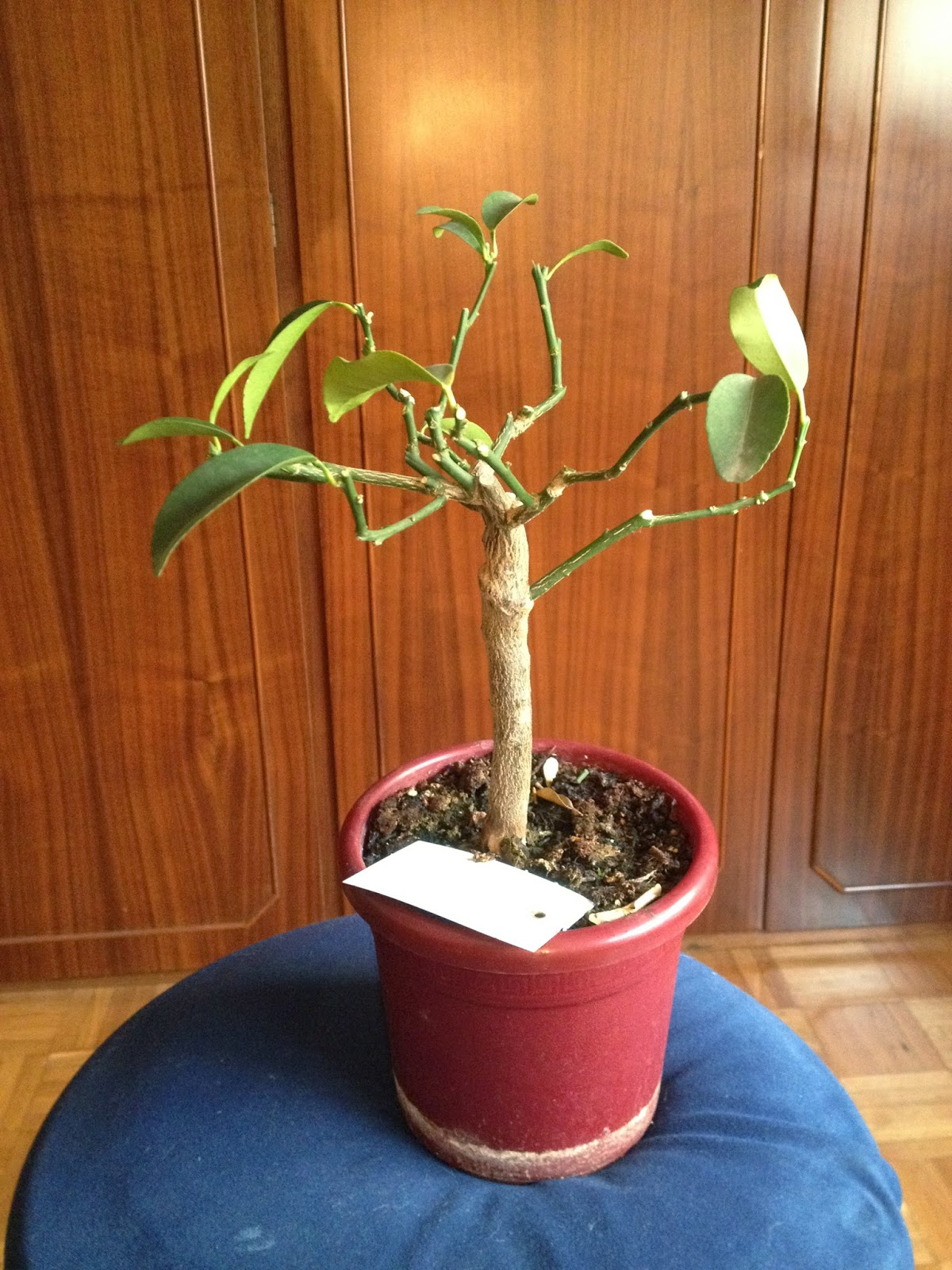 Bonsai Quando Posso Meet The Kumquat