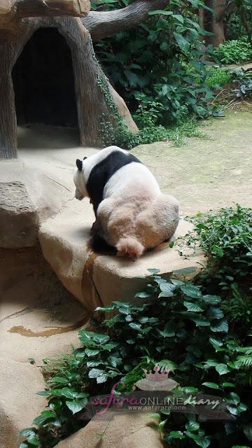 Panda Gergasi Malaysia