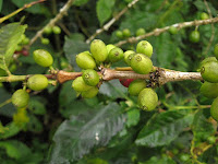 Close up of coffee beans at the coffee plantation on San Cristobal in the Galapagos Islands
