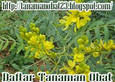 Daun Senna (Cassia angustifolia Vahl.)
