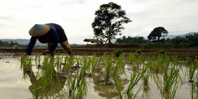 petani, pagi hari, sawah, wisata lombok, pulau lombok, suku sasak