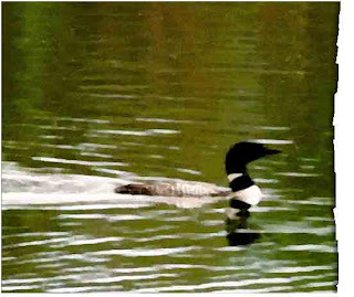 common loon, biodiversity, extinction, endangered species