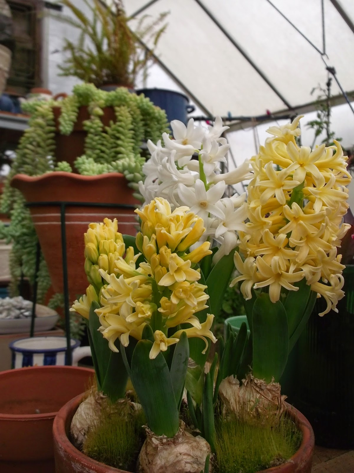 Dotty Plants Greenhouse Journal Hyacinths For Christmas Bloom