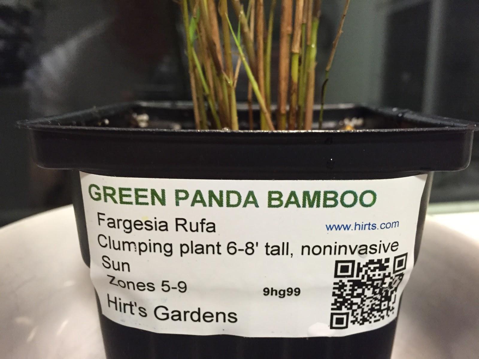 Fargesia rufa 'Green Panda'