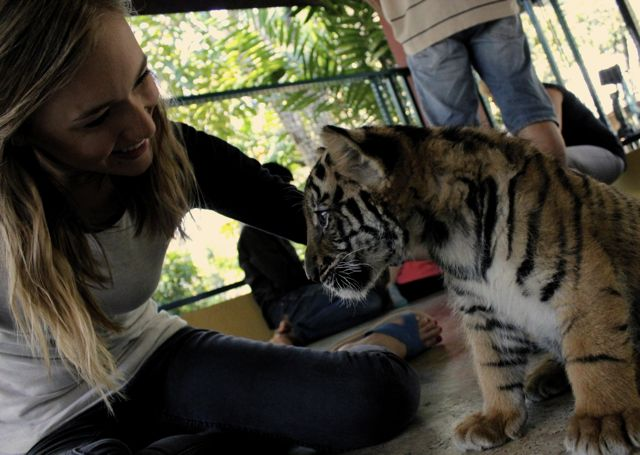 play with baby tigers at tiger kingdom chiang mai
