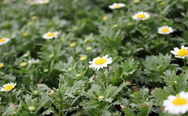 Creeping Daisy Flowers Pictures