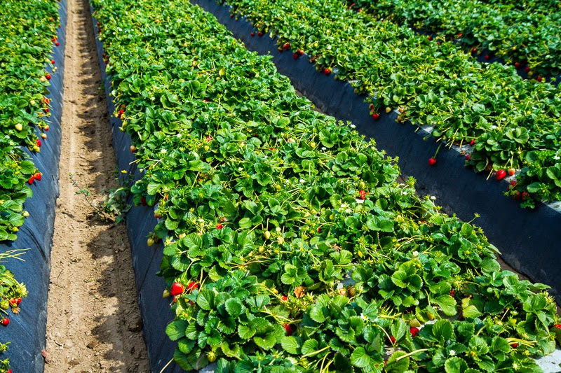 California Strawberry Field Trip