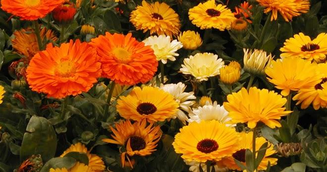 Arte y jardiner a dise o de jardines cal ndula planta for Diseno de jardines 3d 7 0 keygen