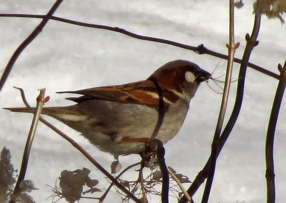 house sparrow with nesting material
