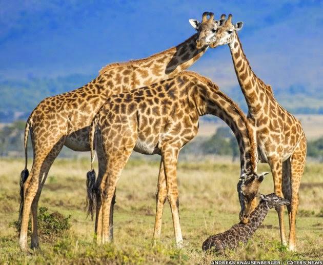 Parto de girafa: filhote chega ao mundo em queda de 2 metros