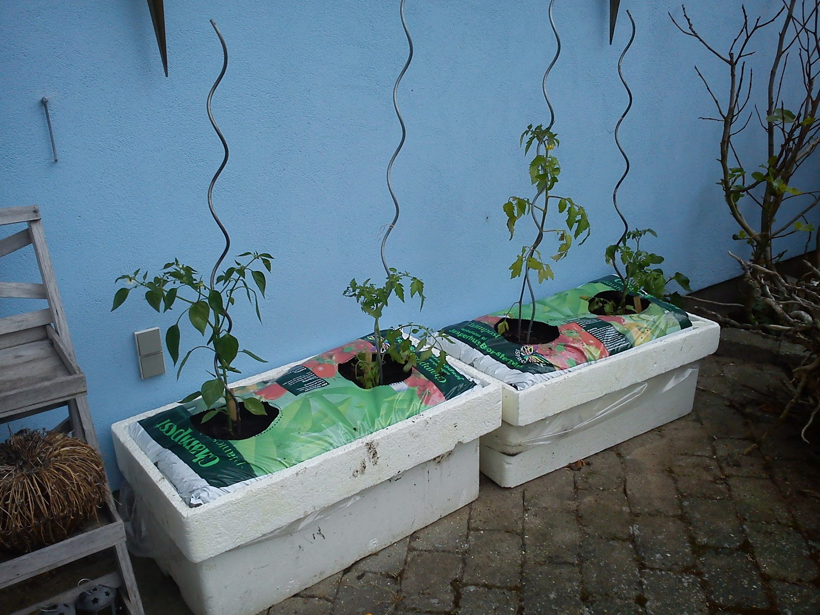 Kitchen of Kiki: Planting tomatoes and chili in the kitchen garden
