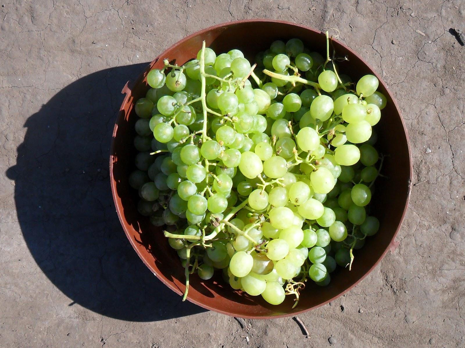 vkusniogorod – виноград
