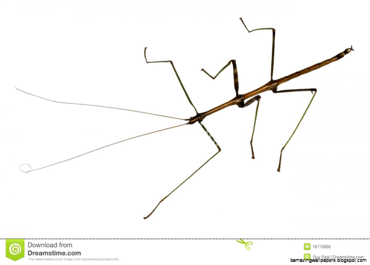 Stick Bug Royalty Free Stock Image   Image 16770896