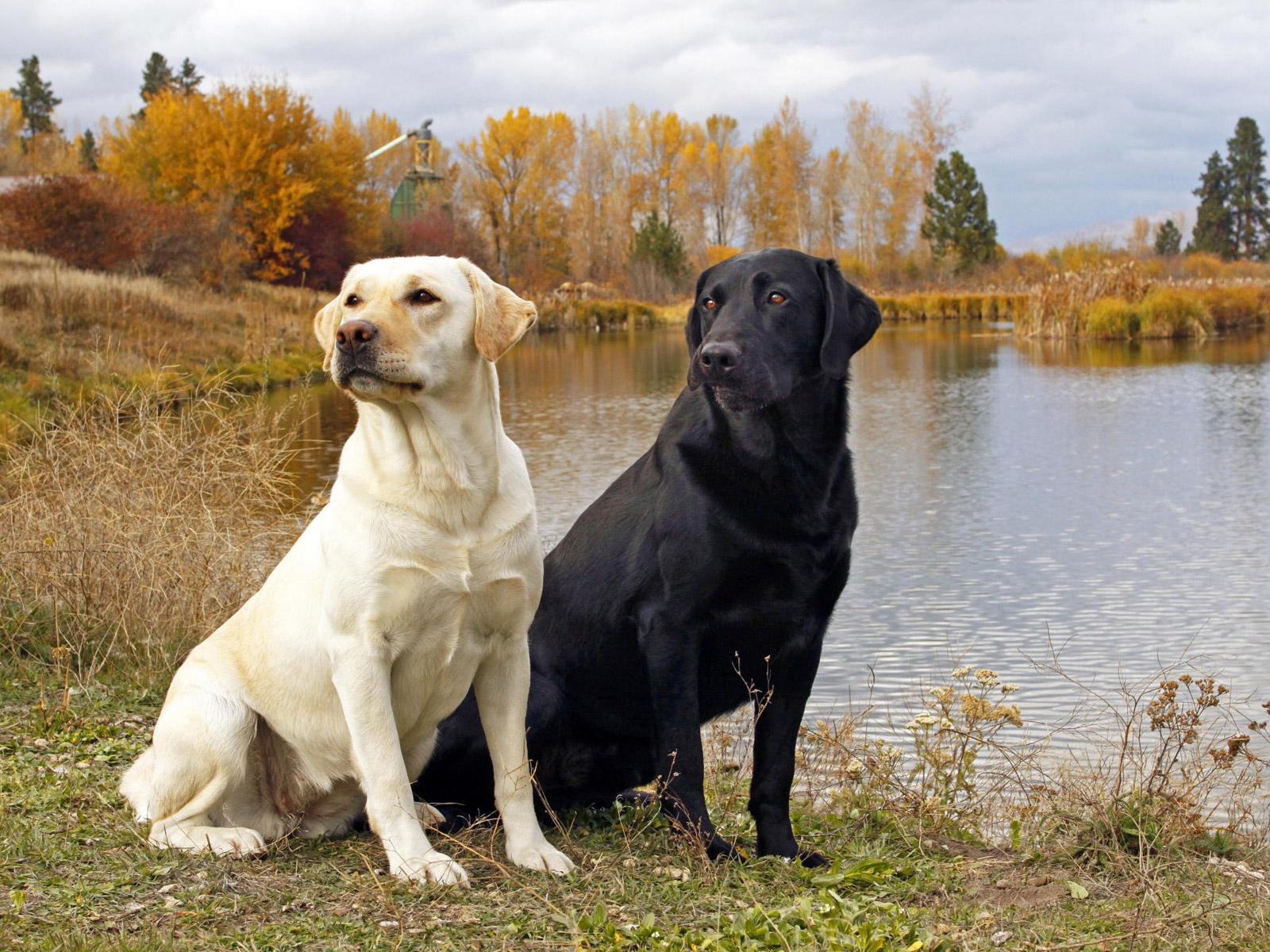 http://3.bp.blogspot.com/-UuFmrcg9-d0/T83UU1_z0AI/AAAAAAAABqI/4eJkzrfUuq4/s1600/Labrador+Retrievers+images.jpg