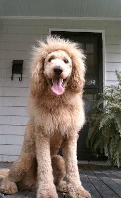 cão confundido com leão é da raça Labradoodle