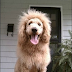 Cão da raça Labradoodle é confundido com um leão