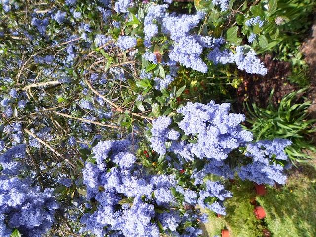floracion ceanothus