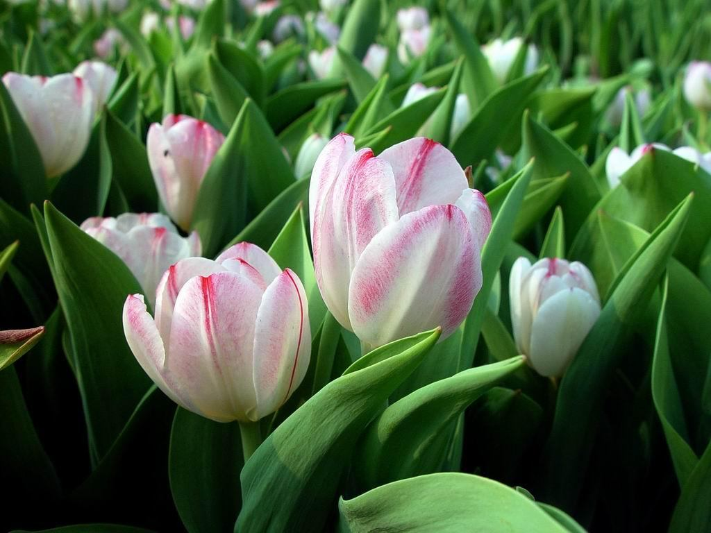 Flowers Wallpapers White Tulips Flowers Wallpapers