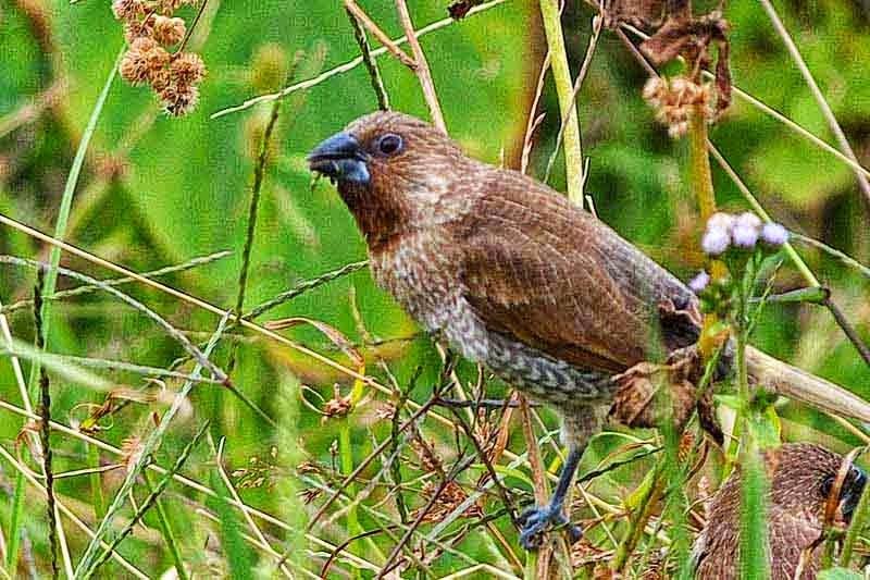 bird, Spice Finch
