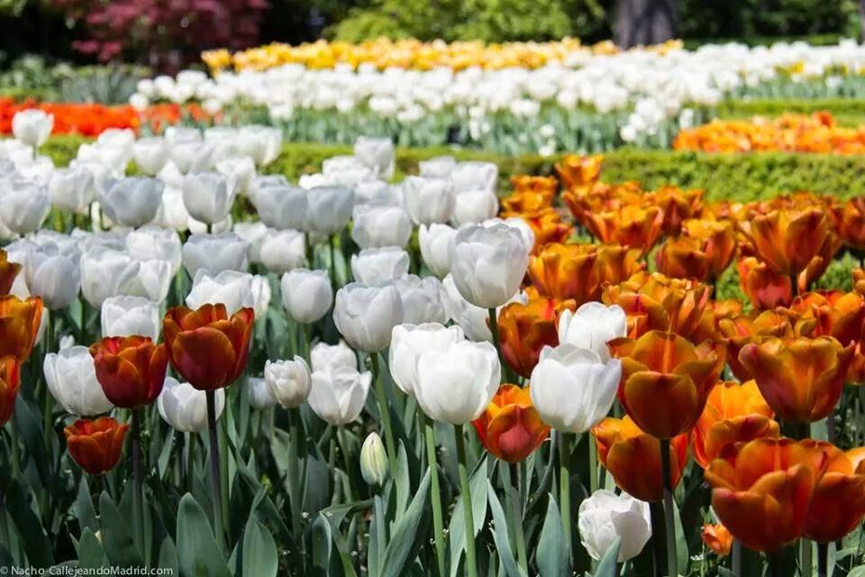 Tulipan beso para Cosas que siento