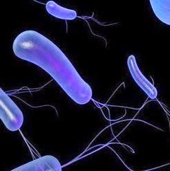 Gambar bakteri pseudomonas fluorescens dengan flagel lebih dari satu di salah satu sisi tubuhnya