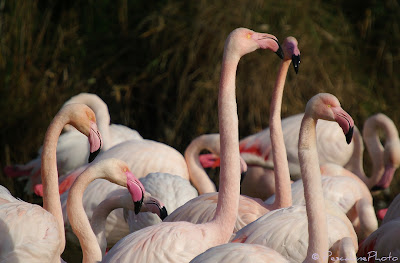 Flamant rose (Phoenicopterus roseus), Greater Flamingo