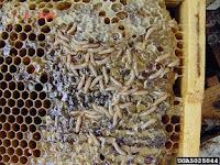 يرقة خنفساء خلايا النحل الصغرى