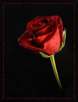 rosas de amor. Esta es de rosal