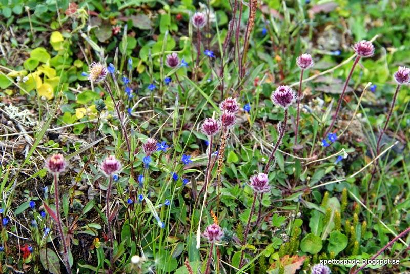 Fjällgentiana, Gentiana nivalis,  Rosenbinka, Erigeron borealis