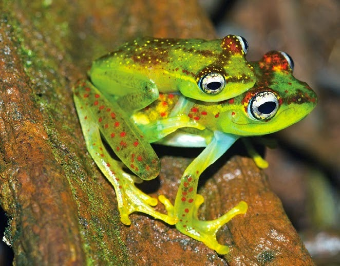http://sciencythoughts.blogspot.co.uk/2014/12/a-new-species-of-treefrog-from.html