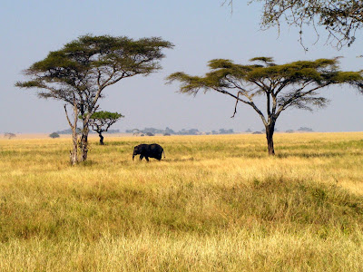 Serengeti elephant and Acacia tree by JoseeMM