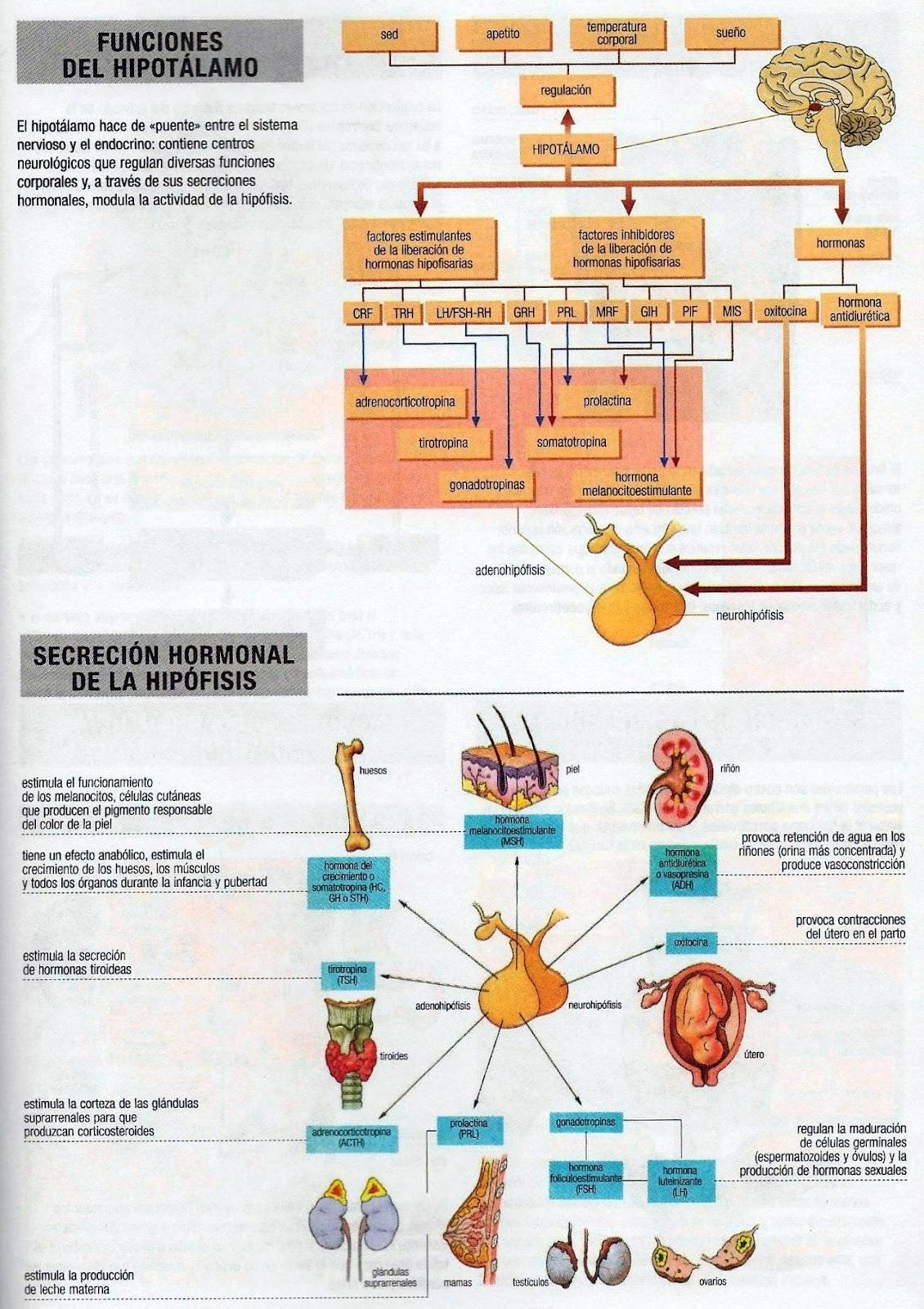 Hormonas de Hipotalamo e Hipofisis (Tabla) | Portafolio de ...