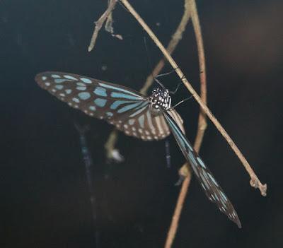 Blue glassy tiger (Ideopsis vulgaris)