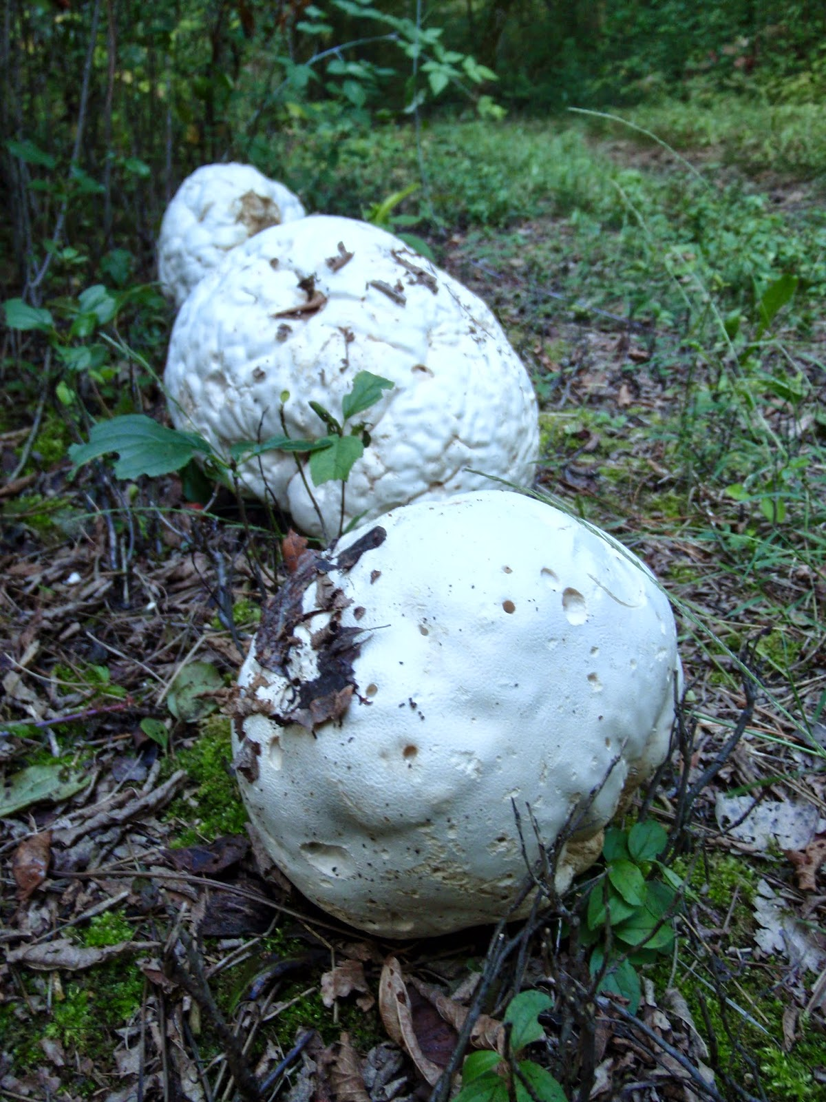 Giant Puffball Mushrooms along the Ice Age Trail in Southern Kettle Moraine State Forest