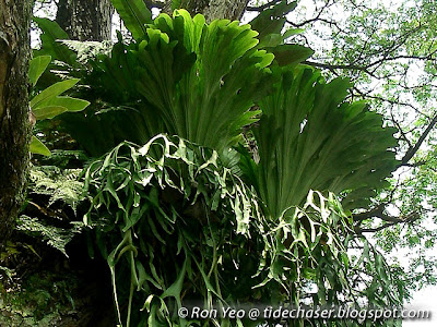 Staghorn Fern (Platycerium coronarium)