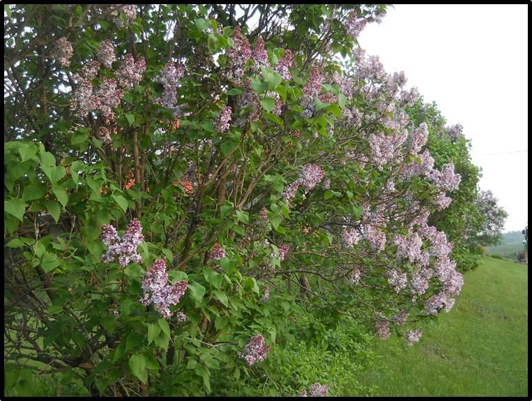Savoir faire conserver gel e de lilas cuv e 2011 - Quand tailler les lilas ...